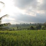 rice-fields-copy